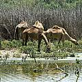 Camels At The Water by Arik Baltinester