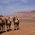 Camels On Desert With Huoyan Gobi Mountains by Huang Xin
