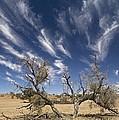 Camelthorn Tree (acacia Erioloba) by Tony Camacho