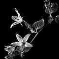 Campanula In Black And White by Endre Balogh