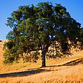 Campo Seco Tree by Joe Fernandez