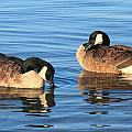 Canada Geese   by Roupen  Baker