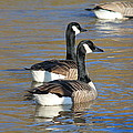 Canada Geese by Henry Hemming