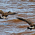 Canada Geese In Flight Lake Superior by Lawrence Christopher