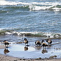 Canada Geese In Lake Erie by Rose Santuci-Sofranko