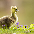 Canada Goose Baby by Mircea Costina Photography