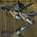 Canada Goose Trio Landing - C0843m by Paul Lyndon Phillips