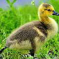 Canada Gosling by Tony Beck