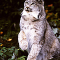 Canada Lynx With Paw Up   by Larry Allan