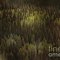 Canadian Forest - The Woods Are Lovely Dark And Deep by Christine Till