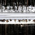 Canadian Gees At Farrington Lake by Aron Chervin