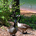 Canadian Geese-12 by Eva Thomas