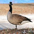 Canadian Goose 2 by Susan Stevenson