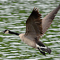 Canadian Goose by Brian Stevens