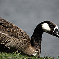 Canadian Goose by Donna Greene