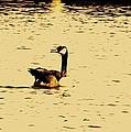 Canadian Goose by John Blanchard