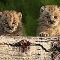 Canadian Lynx Kittens Looking by Robert Postma