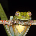 Canal Zone Tree Frog by Dante Fenolio