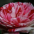Candy Cane Rose by Susan Herber