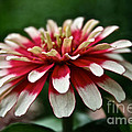 Candy Color Zinnia by Susan Herber