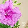 Candy Pink Morning Glory Flower by Sabrina L Ryan