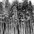 Canes At Canebrake by Brenda Bryant