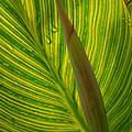 Canna Leaf by Peg Toliver