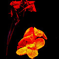 Canna Lilies On Black by Mother Nature