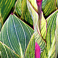 Canna Lily Foliage by Dr Keith Wheeler