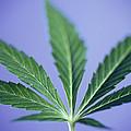 Cannabis Leaf by Cristina Pedrazzini