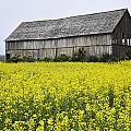Canola Field And Old Barn by Yves Marcoux