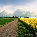 Canola-rapeseed Flowers by Jan W Faul