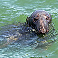 Cape Cod Harbor Seal by Juergen Roth