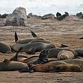 Cape Cross Seal Colony by David Kleinsasser