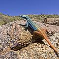 Cape Flat Lizard  South Africa by Piotr Naskrecki