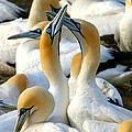 Cape Gannet Courtship by Bruce J Robinson