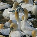 Cape Gannets by Bruce J Robinson
