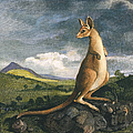 Captain Cook: Kangaroo, 1773 by Granger