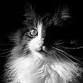 Captivated Cat - A Tribute by Chantal PhotoPix