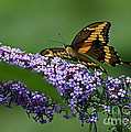 Captivating Swallowtail On Butterfly Bush Flower by Inspired Nature Photography Fine Art Photography