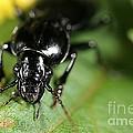 Carabid Beetle Rootworm Rredator by Science Source