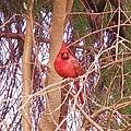 Cardinal  2 by Dave Dresser