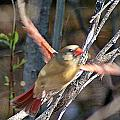 Cardinal 4 by Joe Faherty