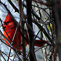Cardinal And Thorns by Brian Stevens