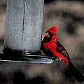 Cardinal by Andrew Mroz