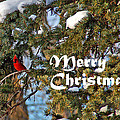 Cardinal Christmas Card by Aimee L Maher ALM GALLERY