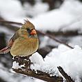 Cardinal Female 3679 by Michael Peychich