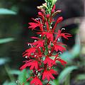 Cardinal Flower by Barbara Bowen