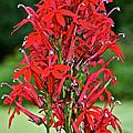 Cardinal Flower Full Bloom by Susan Herber