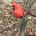 Cardinal In A Bush by Laurel Talabere